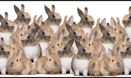 Найдите котенка на картинке, который спрятан среди кроликов